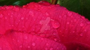 Water Drops on a flower by Tyrant-ess