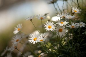 Daisies Radiant by froggynaan