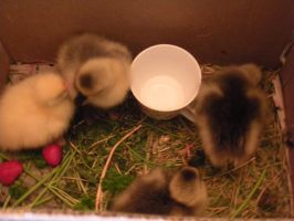 Baby Geese by sanddemon12
