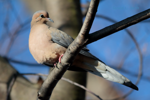 Mourning Dove 19 by Gerryanimator