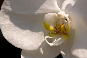 White Orchid by mindbottling