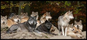 The Wolfpack by Ceridwens-gallery