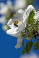 Flowering appletree nr 6 - with bee by attomanen