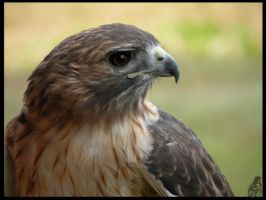 Red Tail 4 by NorthmansOatmeal