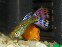 Male snakesin guppy by FuriarossaAndMimma