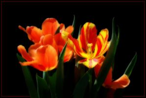 NEW TULIPS by THOM-B-FOTO