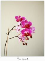 the orchid by photostyle