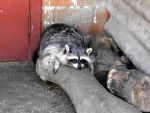 raccoon resting by Laptinoff