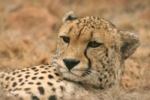 Cheetah by Andelucia29