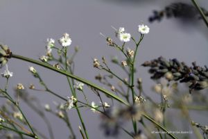 Gypsophilia and lavender by GeaAusten