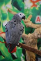african grey parrot 7 by meihua-stock