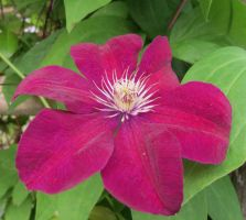 Lilac clematis 6 by Kattvinge