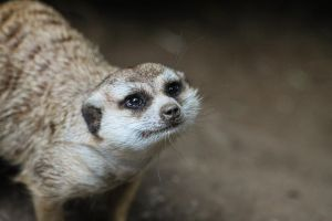 Meerkat II by rainylake