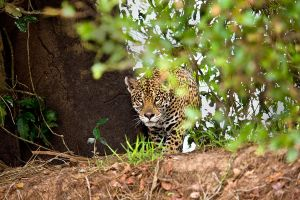 Jaguar Panthera onca by catman-suha