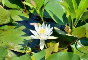 Water Lily by sioranth