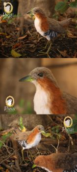 Rufous-Sided Crake (Laterallus melanophaius) by PicuiDove