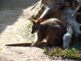 Parma Wallaby by stephuhnoids