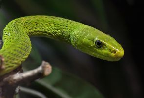 Green Mamba by orestART