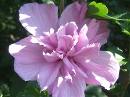 Rose of Sharon by purple-the-cactus