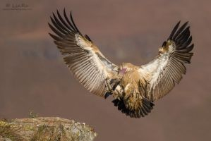 Griffon Touch Down by LinRuPhotography