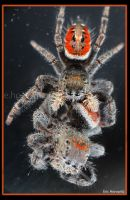 Spider cannibalism RLM by entropicuniverse
