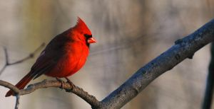 Male Cardinal by SirJaymes