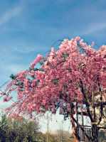 Cherry blossom. by Lunariel7