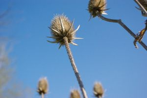 Blue skies Thorny by bubblelady