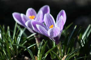 Crocuses II by Freya7
