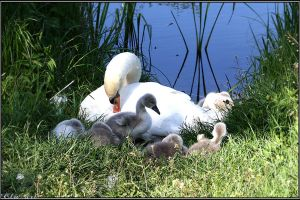 Mother Swan with Cygnets by Clu-art