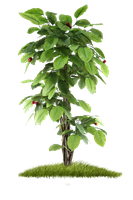 Tree png by allleee
