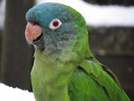 Blue-Crowned Conure Close Up by Twonkalaura