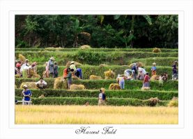 harvest field by PictureOfIndonesia