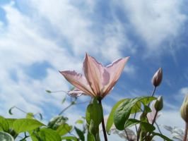 clematis by weirdfish2