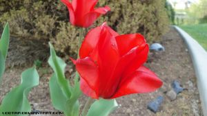 Red Tulip 2 by Lootra