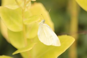 cabbage white by Laur720