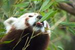 Red Panda feasting by sisterofdream
