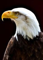 Bald Eagle by Jetstream1118