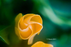 Black Eyed Susan Vine II by thriftyredhead