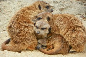 Meerkat dog-pile by DingoDogPhotography