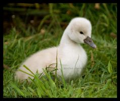ugly duckling by morho