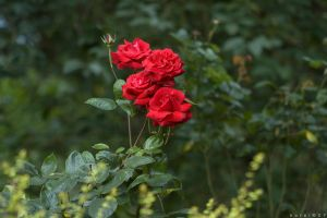 Distant Rose by horai