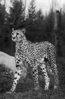 Cheetah, Stuttgart II by FGW-Photography
