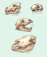 Skull Sketches by Kium