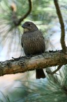 Female Brown Headed Cowbird 2 by MegMarcinkus