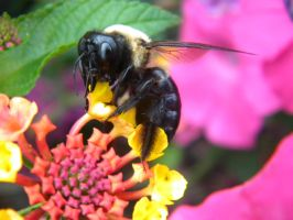 Big ole Bee by D905