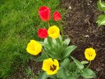 Red and Yellow Tulips by reigningqueenofcurls