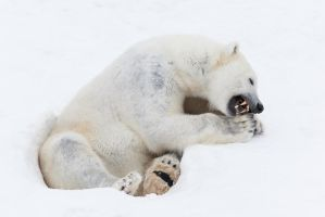 Sitting polar bear by markotapio