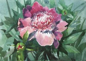 Peony by bel-thorn