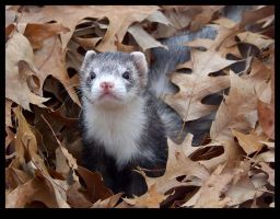 Ferrets of Autumn - Onyx 1 by ShamanofShadows